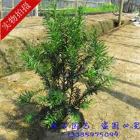 批发精品曼地亚红豆杉 供应红豆杉盆栽 盆景 特价抢批中