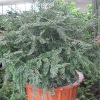 较低价供应优质红豆杉盆景