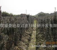 直销曼地亚红豆杉13年挂果盆景树