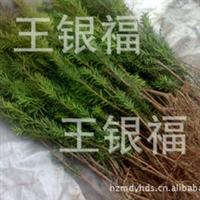 直销曼地亚红豆杉已经挂果3~4年原床苗