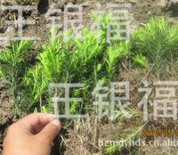 【红豆杉2年苗】直销露天大田培育2年生曼地亚红豆杉 红豆杉苗