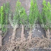 【红豆杉2年粗苗】现货供应12年以上老枝条扦插曼地亚红豆杉小苗