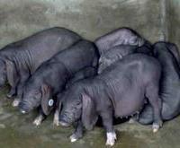 原种太湖猪广西独家繁育基地,健康养殖场首选种猪苗供应商