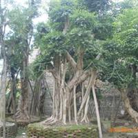 榕树,榕树桩,重阳木,香樟,凤凰木,盆景,龙船花,菩提树