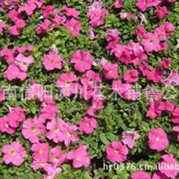 千日红,百日草,彩叶草,太阳花,半支莲,凤仙花,长春花价格表