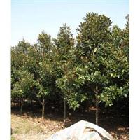 供应广玉兰 可用做行道树木