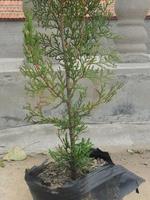 大量供应绿化用80cm--150cm营养钵侧柏