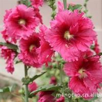 蜀葵--蒙草抗旱绿化苗木—宿根花卉——背景植物,或丛或行栽植。