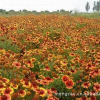 天人菊-蒙草抗旱绿化苗木—地被类—耐热、耐强风、砂地绿化
