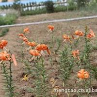 卷丹-蒙草抗旱绿化苗木—地被类——耐寒喜光