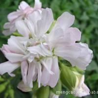 肥皂草—蒙草抗旱绿化苗木—地被植物—耐半荫耐寒、耐盐碱