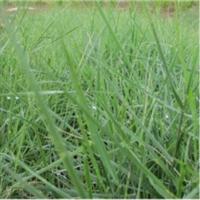 蒙古冰草-内蒙古和信园蒙草抗旱公司-草本地被-耐寒、耐旱、抗风