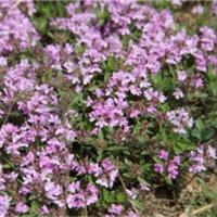 百里香-多年生小灌木-蒙草抗旱低碳绿化-地被材料与植物药材