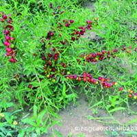 欧李-落叶灌木-蒙草抗旱低碳绿化-观赏植物栽培