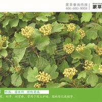 三裂绣线菊-灌木-蒙草抗旱低碳绿化-稍耐荫、耐寒、耐旱