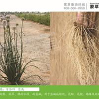 山韭-地被-蒙草抗旱低碳绿化-耐碱、耐寒、耐旱