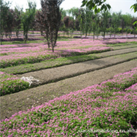 紫叶榨浆草/红花�m浆草/红黄花美人蕉/油麻藤/鸢尾等地被类