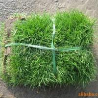 绿化草坪/百慕达草坪/马尼拉草皮/高羊茅草/马蹄茎/白三叶