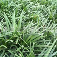 日本矮麦冬/矮麦冬/地被类植物 可配日本罗汉松黑松等