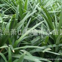 矮麦冬/日本矮麦冬/玉龙草麦冬绿化地被类植物及绿化草坪