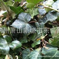 爬山虎/常春油麻藤/金钱草/花叶蔓/凌霄/紫藤等爬藤类绿化苗木