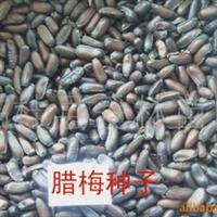 供应腊梅种子