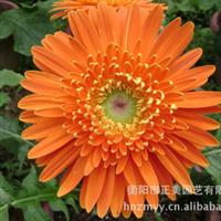 正美园艺供应大量绿化植物鲜花万寿菊