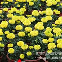低价供应绿化苗木万寿菊盆栽 质优价廉