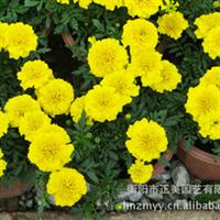 基地直供绿化用小盆栽鲜花万寿菊