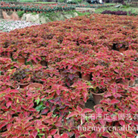 销售大量花坛绿化 彩叶草  欢迎惠顾 订购