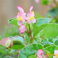 供应花灌木类绿化苗木 优质海棠(图)
