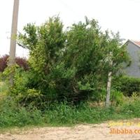 供应绿化苗木石榴
