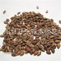 低价批发优质 黄柏种子 黄柏苗 进口植物种子批发