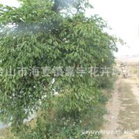 嘉宇苗木场大量供应广伞枫绿化树苗