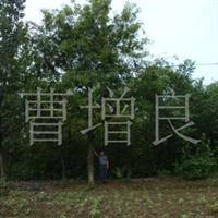 直径15-50cm的皂角树
