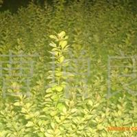 供应色块绿篱新品金叶小檗等苗木