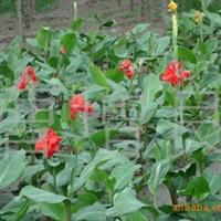 供应宿根植物美人蕉等花木