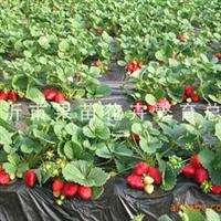 供应优质草莓苗 草莓苗木 13905493405多种果树苗木出售