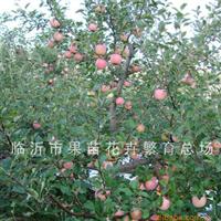 供应优质苹果苗