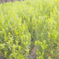 低价直销大量 小叶黄杨 金边黄杨等绿化苗木 花木