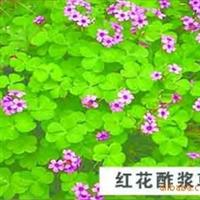 大量供应宿根草本花卉--红花酢浆草