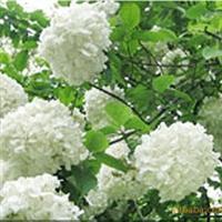 供应宿根花卉 木绣球花 庭院花卉