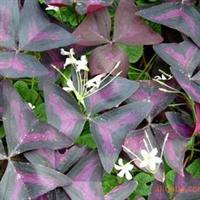 供应宿根花卉  紫叶酢浆草 多年生宿根草本