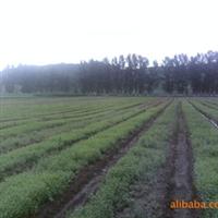吉林出售供应樟子松 油松 红松