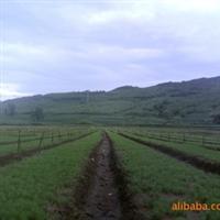 樟子松 油松出售 吉林供应樟子松