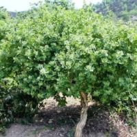 供应亚特立本金银花国审良种成品树 树龄9年
