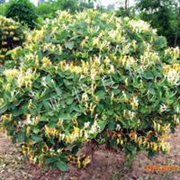 供应金银花苗木种苗 亚特立本金银花国审良种种苗 苗龄1年