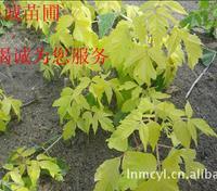 批发金叶复叶槭树苗   金叶糖槭树苗
