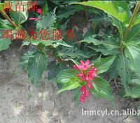 树苗红王子锦带批发   树苗锦带花