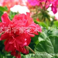 【公司直销】天竺葵种子  支持货到付款